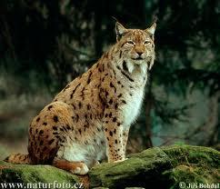 Lynx-Abruzzo