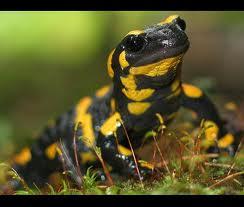 Salamander-Abruzzo