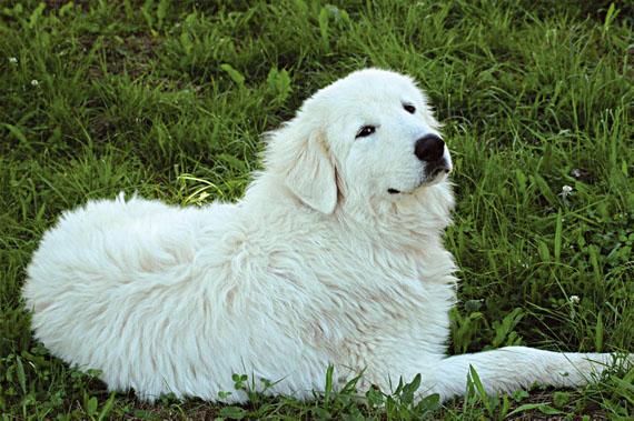 Sheepdog-abruzzese