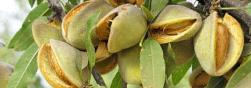 Almonds-Navelli