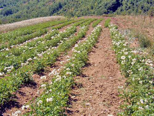Middle-Sangro-Valley-Potato