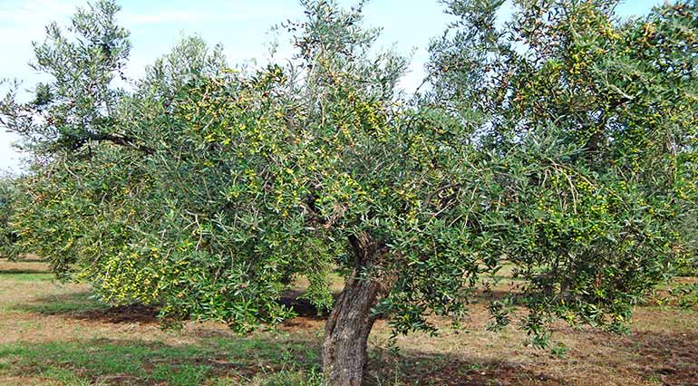 Frantoio – Stages of processing olives in extra virgin olive oil