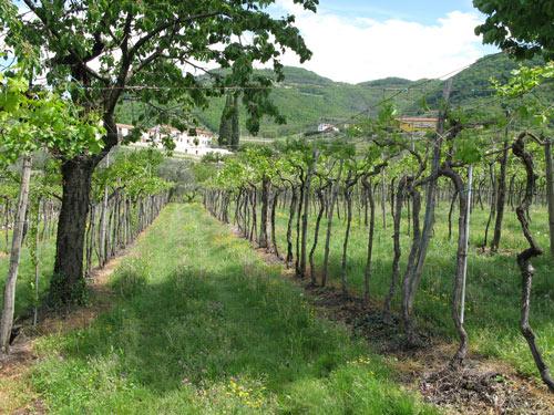 vineyards-Bomba-Chieti