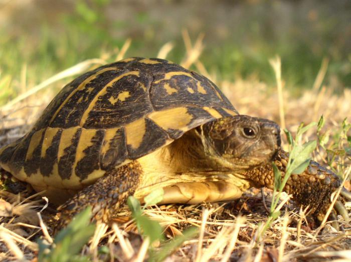 terrestrial-tortoise