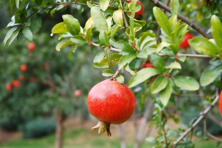 pomegranate-plant